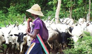 Fulani Herdman 300x176 - Hausa, Fulani Not Behind Killings In Nigeria – Norther Leaders Cry Out