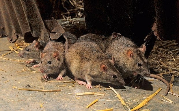 Use Traps Instead Of Poison To Kill Rats - Experts Warns