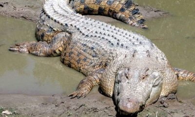 Saltwater-crocodile-ft