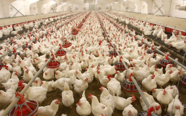 Poultry farming - Expert Advises SMEs On Challenges Of Managing Poultry Business
