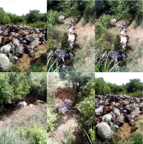 herders di - Herders Missing, 344 Cows Killed In Plateau