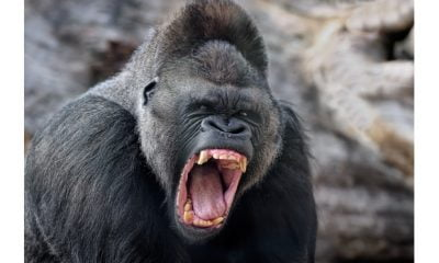 Gorilla Swallows N10 Million Eid Revenue Fund In Kano