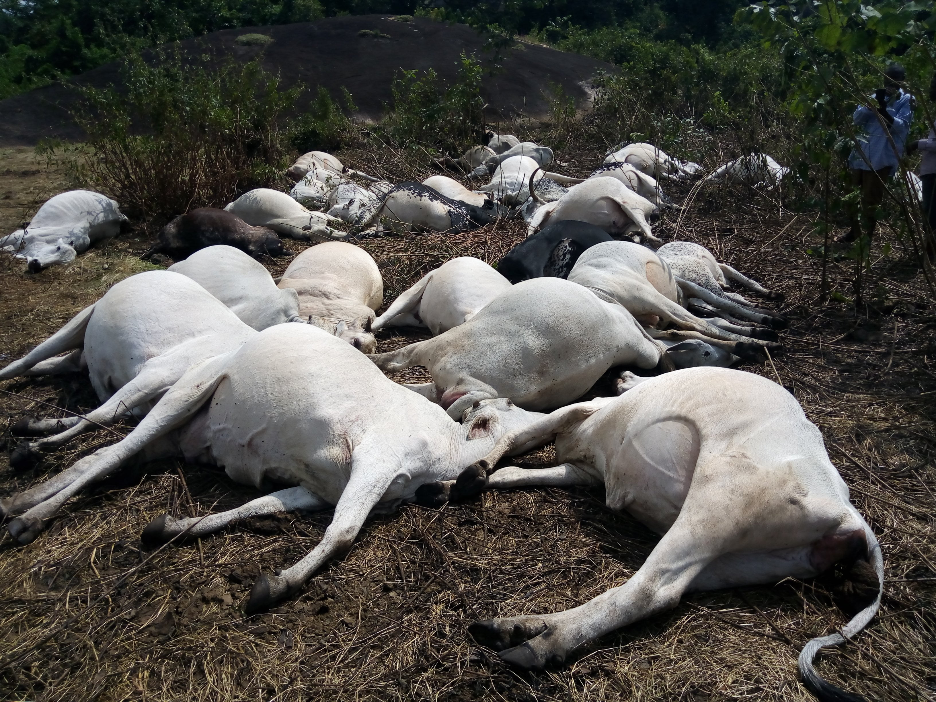 How Nigerian Military Killed Over 1,000 Cows In Nasarawa