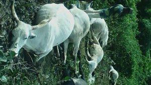 Fear In Osun As Lightning Kills 7 Cows