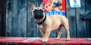 Wilbur 300x150 - French Bulldog Elected Mayor