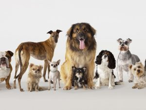 Dogs 300x225 - Lagos Govt To Vaccinate 1.5Million Dogs For Free
