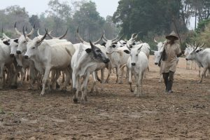 Herdsmen and cattle 300x200 - Leave Our Land Within 7 Days – Kwara Community Issues Ultimatum To Fulani Herdsmen