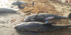 In Ghana, around sixty dolphins and fish found washed up on the coasts